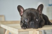 Photo close-up view of adorable black french bulldog lying on wooden table