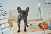 Fotografia in piedi adorabile del bulldog francese in tabella di legno con strumenti