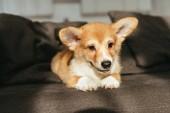 Photo cute welsh corgi puppy sitting on sofa at home