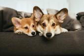 Porträt zweier entzückender walisischer Corgi-Hunde, die zu Hause auf dem Sofa liegen