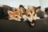Fotografia Chiuda sulla vista di cani welsh corgi che pone sul sofà a casa