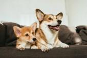 Fotografie welsh corgi psy sedí na pohovce v obývacím pokoji doma