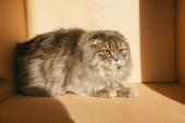 cute british longhair cat in cardboard box with sunlight