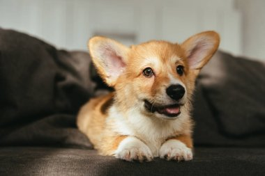 close up view of welsh corgi puppy sitting on sofa at home