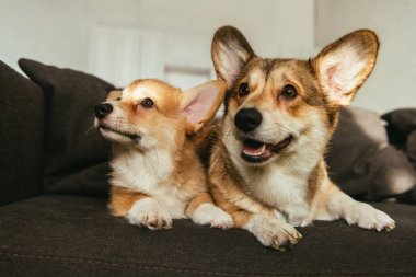cute welsh corgi dogs sitting on sofa in living room at home