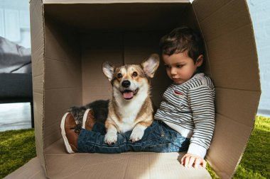 adorable welsh corgi pembroke sitting with little boy in cardboard box