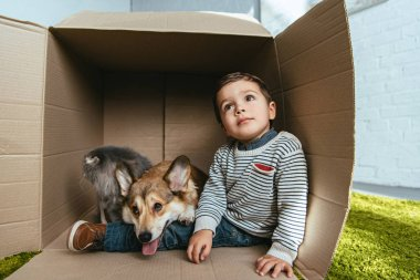 boy with adorable welsh corgi pembroke and british longhair cat sitting in cardboard box