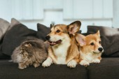 close up view of adorable welsh corgi dogs and british longhair cat on sofa at home