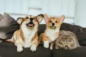 Selektiver Fokus von entzückenden welschen Corgi-Hunden und britischen Langhaarkatzen auf dem heimischen Sofa