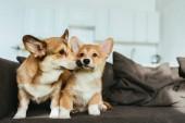 zblízka pohled welsh corgi psů na pohovce v obývacím pokoji doma