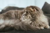 Fényképek imádnivaló angol Folyóírás macska megállapításáról szóló, a kanapén, otthon