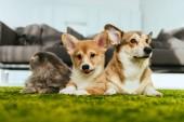 entzückende walisische Corgi-Hunde und britische Langhaarkatze zu Hause auf dem Boden