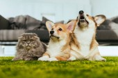Fotografie cute welsh corgi dogs and british longhair cat on floor at home