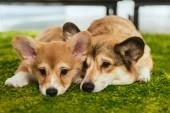 dva roztomilý welsh corgi psi na zeleném trávníku doma