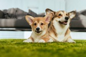 selective focus of two cute welsh corgi dogs laying on green lawn at home