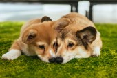 Fotografie two cute welsh corgi dogs laying on green lawn at home