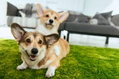 close up view of two cute welsh corgi dogs laying on green lawn at home