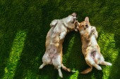 view from above of two welsh corgi dogs laying on green lawn