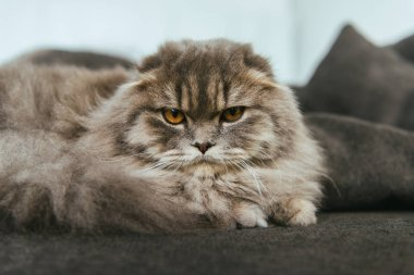 portrait of british longhair cat laying on sofa at home