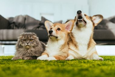 cute welsh corgi dogs and british longhair cat on floor at home