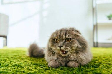 sevimli İngiliz longhair kedi yere atarken seçici odak