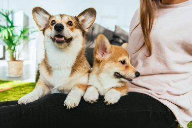 partial view of woman sitting with welsh corgi dogs at home