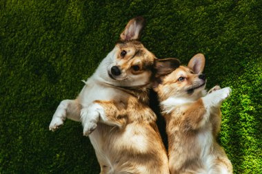 top view of two adorable welsh corgi dogs laying on green lawn