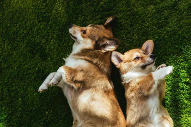 elevated view of two adorable welsh corgi dogs laying on green lawn