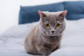 Photo close-up view of adorable grey british shorthair cat on bed