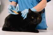 Photo  cropped view of veterinarian making microchipping procedure to black cat on grey background