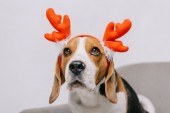 Beagle pes nosí sobí parohy izolované Grey