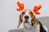 Photo beagle dog wearing reindeer antlers isolated on grey