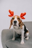 Photo cute beagle dog wearing reindeer antlers isolated on grey