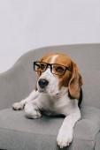 roztomilý bígl pes ležící v brýlích izolované na šedém pozadí