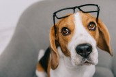 Fotografie selective focus of beagle dog in glasses sitting in armchair