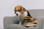 Photo selective focus of sad beagle dog in glasses sitting in armchair near books
