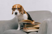Photo selective focus of cute beagle in glasses sitting in armchair near books isolated on grey