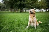 Arany-Vizsla kutya ül a zöld gyep a parkban