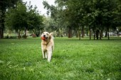Fotografie golden retriever dog playing with rubber ball in park