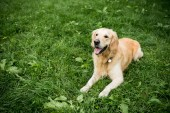 Fotografie funny golden retriever dog resting on green lawn
