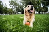 Fotografie selective focus of cute golden retriever dog lying with rubber ball on green lawn
