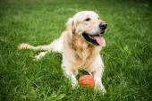 Fotografie golden retriever dog lying with rubber ball on green lawn