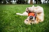 Selektivní fokus zlatého retrívra psa hrát s gumový míček na zeleném trávníku
