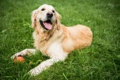 Fotografie adorable golden retriever dog lying on green lawn in park