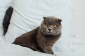 adorable scottish fold cat sitting in bed at home