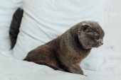 Fotografie grey scottish fold cat sitting in bed at home