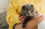 Fényképek nyírt kilátás a fiatal nő kötött pulóver gazdaságban aranyos skót Fold macska otthon