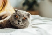 selective focus of scottish fold cat looking at camera and lying in bed at home