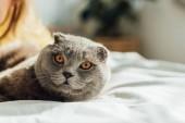 válogatós összpontosít-ból Skót Karám macska látszó-on fényképezőgép és hazudó ágyban otthon