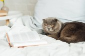 Fotografie selective focus of cute scottish fold cat lying in bed with book